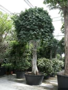 Фикус ficus panda bonsai