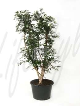 Муррайя murraya paniculata