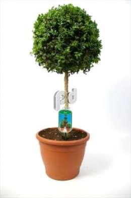 buksus op stam