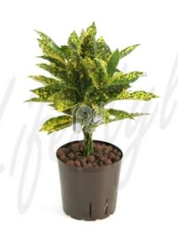 Кодиемум (Croton codiaeum gold dust)