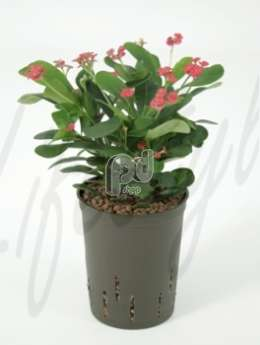 Молочай (Euphorbia milii red)