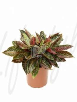 Аглаонема (Aglaonema red diamond)