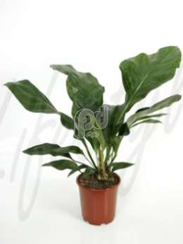 Антуриум жангл кинг(Anthurium jungle king)