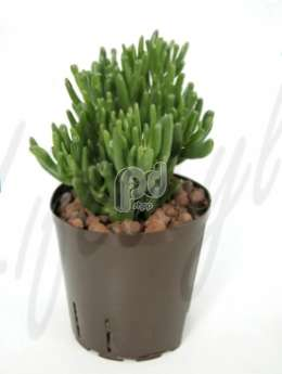 Толстянка (Crassula horn tree)