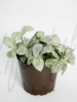 Фиттония(Fittonia white anne)