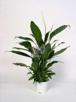 Спатифиллум spathiphyllum chopin